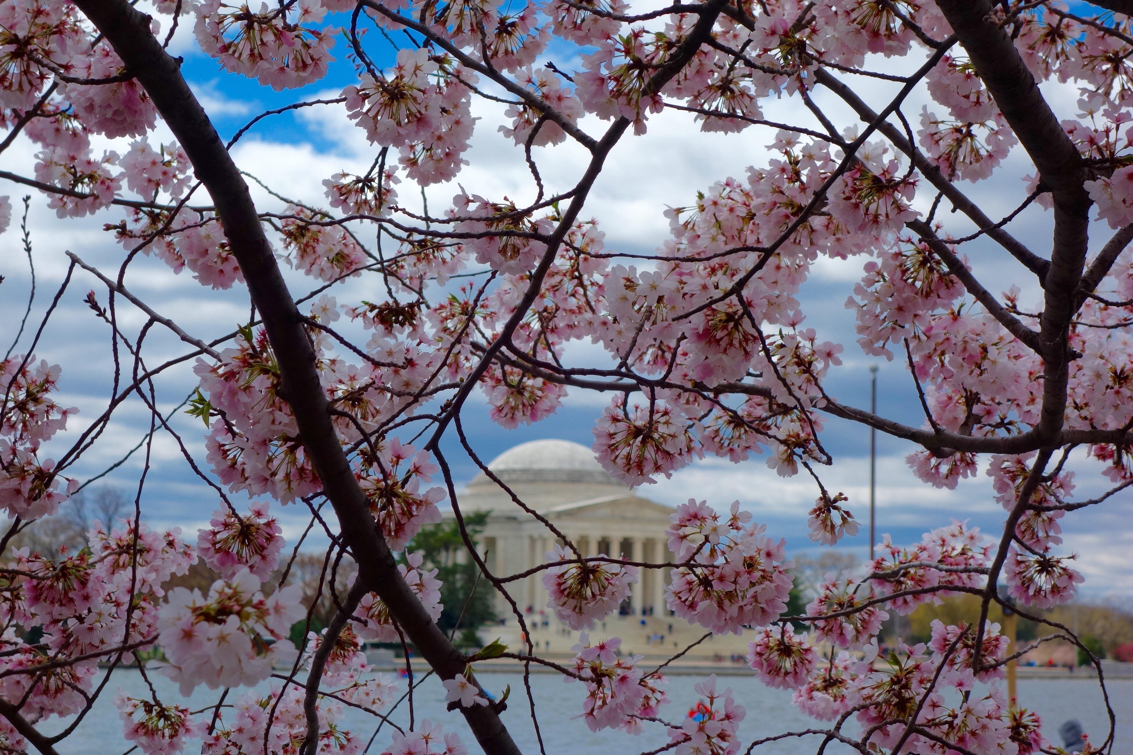 2017 National Cherry Blossom Festival Hikaru Tamaki Cellist